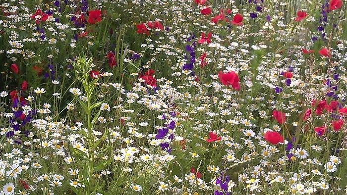 Seestadt Aspern - Wildblumen