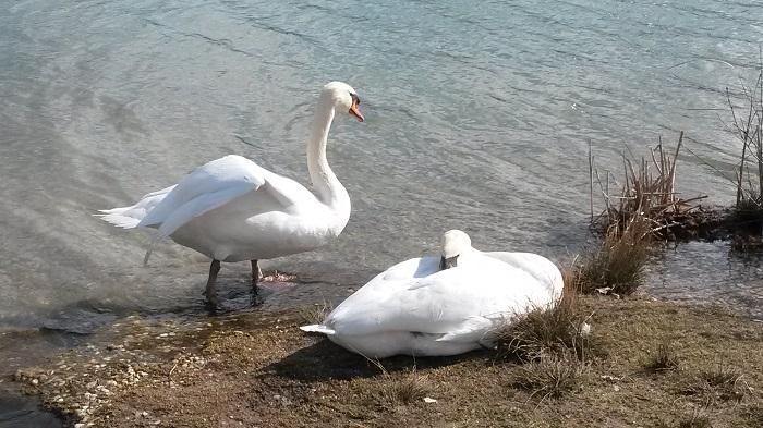 Schwäne am Teich Hirschstetten