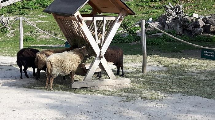 Blumengärten Hirschstetten - Zoo - Schafe